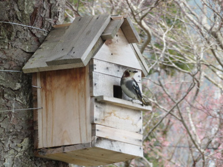 A chestnut-cheeked starling makes use of a nest box (Tono Seiki Co., Ltd.)